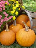Basket of Pumpkins. With chrysanthemums Royalty Free Stock Photography