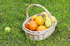 Basket of pumpkins in the garden Royalty Free Stock Images