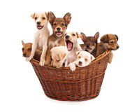 A Basket of Puppies Royalty Free Stock Images