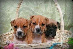 Basket of puppies Stock Image