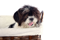 Basket puppy 2 Royalty Free Stock Image