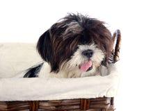 Basket puppy 2 Royalty Free Stock Image