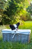 Basket with a puppy on the grass Royalty Free Stock Image
