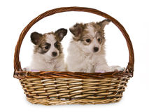 Basket puppy's Stock Photos