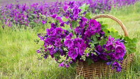 Basket with purple wild mallow in front of flowerfield Royalty Free Stock Image
