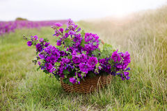 Basket with purple wild mallow in front of flowerfield Stock Images