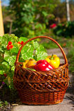 Basket qith harvest Royalty Free Stock Image