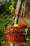 Basket qith harvest Royalty Free Stock Photography