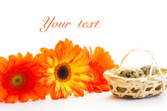 The basket with quail eggs and opange gerbera. The basket with quail eggs and orange gerbera on a white backrground Royalty Free Stock Photos