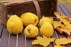 Basket of quinces and autumn leaves Royalty Free Stock Images