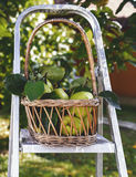 Basket of quinces in the garden Royalty Free Stock Photos