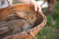 Basket with rabbits inside Stock Photos