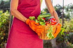 Basket with radishes, greens, cucumber, tomatoes over field in female hands. Harvest of vegetables from village garden. Woman