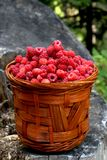 Basket with raspberries from the forest. Basket with ripe and healthy raspberries from the woods Stock Image