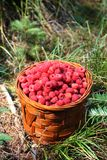 Basket with raspberries from the forest. Basket with ripe and healthy raspberries from the woods stock photography
