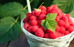 Basket with raspberries near bush on wooden table in garden. Basket with raspberries closeup on wooden table outdoors at raspberry bush with green leaves Stock Images
