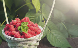 Basket with raspberries near bush on wooden table in garden. Basket with raspberries closeup on wooden table outdoors at raspberry bush with green leaves Royalty Free Stock Photography