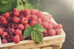 Basket with raspberries near bush on wooden table in garden. Basket full of raspberries closeup at raspberry bush with green leaves background. Summer harvest of Stock Photo
