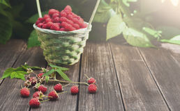 Basket with raspberries near bush on wooden table in garden. Basket full of raspberries on wooden table outdoors at raspberry bush with green leaves background Royalty Free Stock Photography