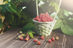 Basket with raspberries near bush on wooden table in garden. Basket full of raspberries on wooden table outdoors at raspberry bush with green leaves background Stock Photo