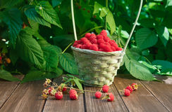 Basket with raspberries near bush on wooden table in garden. Basket full of raspberries stay on wooden table outdoors at raspberry bush with green leaves Royalty Free Stock Photography