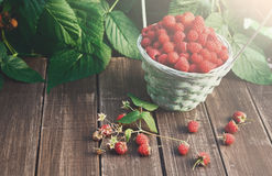 Basket with raspberries near bush on wooden table in garden. Basket full of raspberries stay on wooden table outdoors at raspberry bush with green leaves Stock Photo