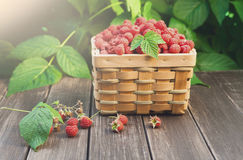 Basket with raspberries near bush on wooden table in garden. Basket full of raspberries stay on wooden table outdoors at raspberry bush with green leaves Royalty Free Stock Image