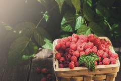Basket with raspberries near bush on wooden table in garden. Basket full of raspberries stay on wooden table outdoors at raspberry bush with green leaves Stock Photography