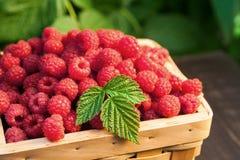 Basket with raspberries near bush on wooden table in garden. Summer raspberry harvest. Wicker basket with berries closeup on wooden table outdoors at raspberry Stock Photos