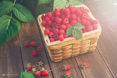 Basket with raspberries near bush on wooden table in garden. Summer raspberry harvest. Wicker basket with berries closeup on wooden table outdoors at raspberry Royalty Free Stock Image