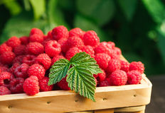 Basket with raspberries near bush on wooden table in garden. Summer raspberry harvest. Wicker basket with berries closeup on wooden table outdoors at raspberry Stock Photo