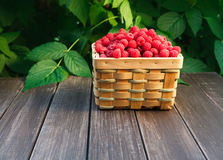 Basket with raspberries near bush on wooden table in garden. Summer raspberry harvest. Wicker basket with berries closeup on wooden table outdoors at raspberry Royalty Free Stock Images