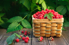 Basket with raspberries near bush on wooden table in garden. Summer raspberry harvest. Wicker basket with berries closeup on wooden table outdoors at raspberry Royalty Free Stock Photography
