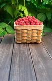 Basket with raspberries near bush on wooden table in garden Royalty Free Stock Photo