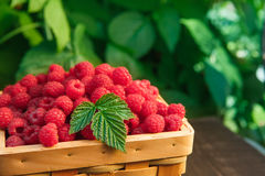 Basket with raspberries near bush on wooden table in garden Royalty Free Stock Images