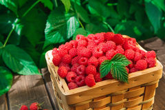 Basket with raspberries near bush on wooden table in garden. Wicker basket full of raspberries closeup on wooden table outdoors at raspberry bush with green Royalty Free Stock Photography