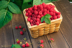 Basket with raspberries near bush on wooden table in garden. Wicker basket full of raspberries closeup on wooden table outdoors at raspberry bush with green Royalty Free Stock Images