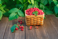 Basket with raspberries near bush on wooden table in garden. Wicker basket full of raspberries closeup on wooden table outdoors at raspberry bush with green Royalty Free Stock Photo