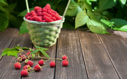 Basket with raspberries near bush on wooden table in garden Stock Photos