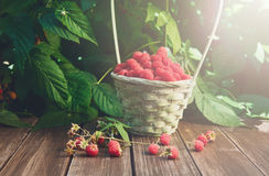 Basket with raspberries near bush on wooden table in garden. Wicker basket full of raspberries closeup on wooden table outdoors at raspberry bush with green Stock Photo