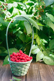 Basket with raspberries near bush on wooden table in garden. Wicker basket full of raspberries closeup on wooden table outdoors at raspberry bush with green Stock Image