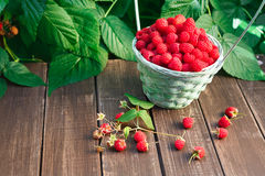 Basket with raspberries near bush on wooden table in garden. Wicker basket full of raspberries closeup on wooden table outdoors at raspberry bush with green Royalty Free Stock Image
