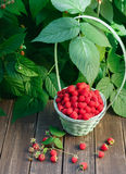 Basket with raspberries near bush on wooden table in garden. Wicker basket full of raspberries with copy space on wooden table, outdoors near raspberry bush with Stock Images