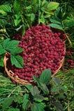 Basket of raspberries (Rubus idaeus). Wild raspberries (Rubus idaeus) in the basket Royalty Free Stock Photography