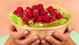Basket with raspberry in woman hands. Isolated on white Stock Photo