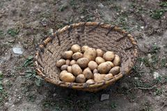 Basket of raw potatoes Stock Images