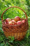 A basket of red apples Stock Image