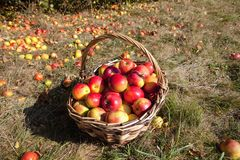 Basket of Red Apples in the Basket stock photos