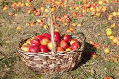 Basket of Red Apples in the Basket royalty free stock photos