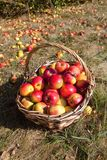 Basket of Red Apples in the Basket stock images
